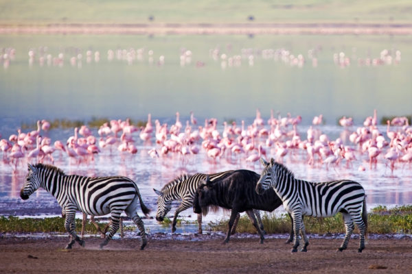 Zebras und Flamingos in Tansania
