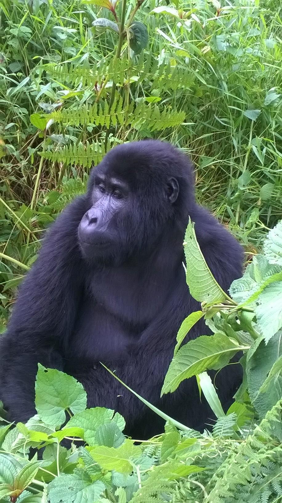 Berggorillas Ruanda